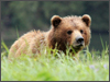 Alaska-Bear-Viewing-thumbnail