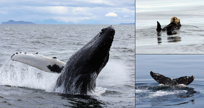 Alaska, whale watching, tours, Juneau, Humpback, Orca, inside passage, small ship, cruises