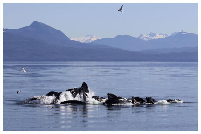Alaska Humpback whales bubble net feeding