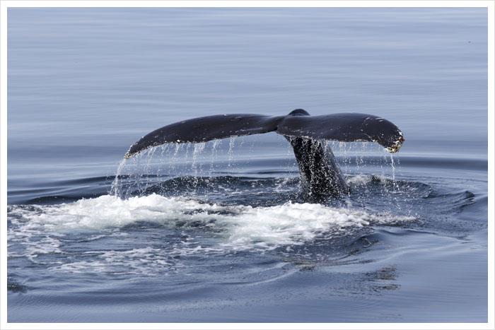 humpback whale watching Juneau alaska